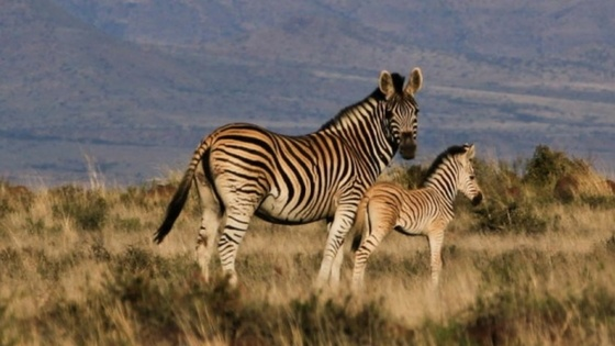 Suzuki_Mountain-Zebra-National-Park.jpg