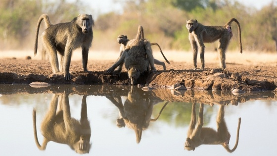 Baboons next to water