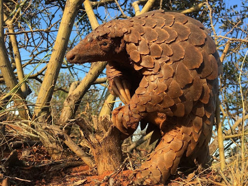 Pangolins switched to daytime activity during winter (photo: Wendy Panaino)
